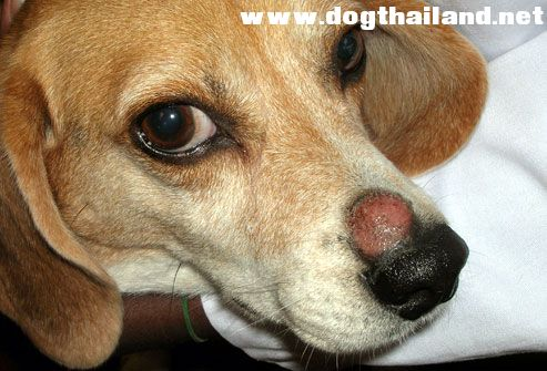 cornell_rf_photo_of_beagle_with_ringworm.jpg