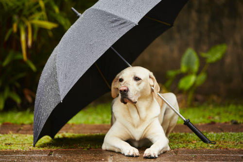 dog-in-rain-with-umbrella-w500-h800.jpg