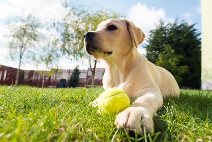 labrador-retriever-dog-pictures-7.jpg